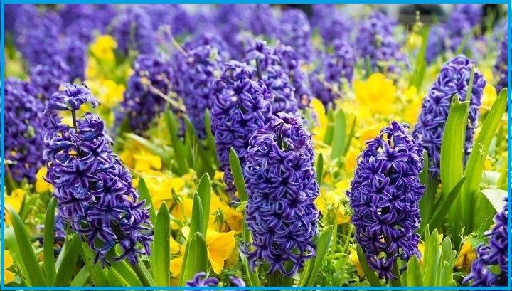 funeral flowers Hyacinth.jpg